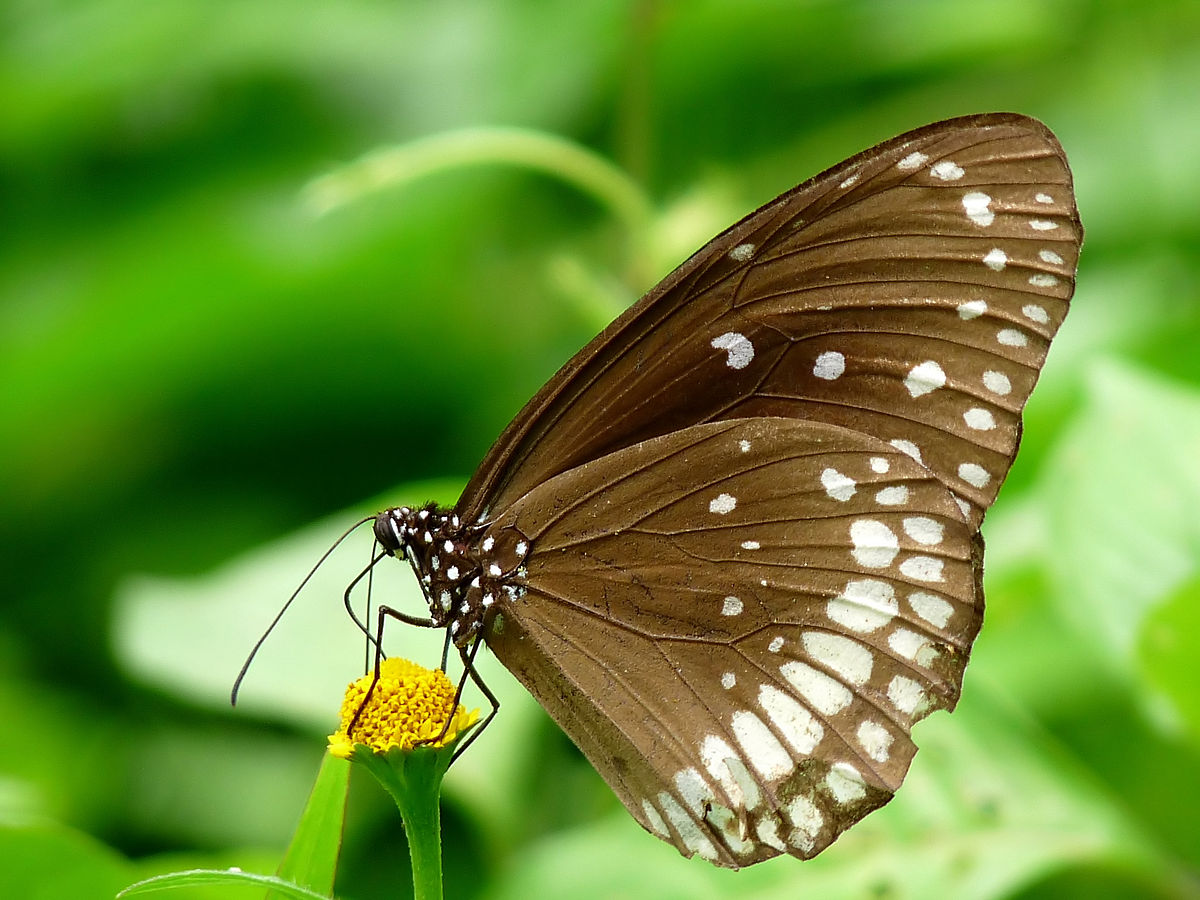 File:Euploea core by kadavoor.jpg - Wikimedia Commons