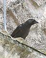 Eurasian Jackdaw - juvenile - Flickr - Lip Kee.jpg