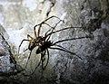 Euroopa koopaämblik (Meta menardi) Euroopa aasta 2012 ämblik, Kiek in de Kökis 2010.jpg