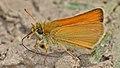 European Skipper (Thymelicus lineola) - Guelph, Ontario 01.jpg
