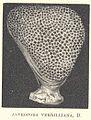 FMIB 53075 Alveopora verrilliana, D.jpeg