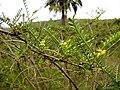 Fabaceae - Adesmia balsamica Bertero ex Colla (Fundación JBN de Viña del Mar).jpg