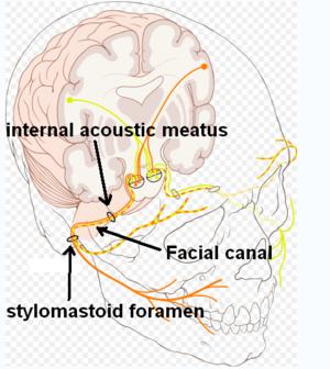 Stylomastoid foramen - Image: Facial canal