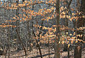 Fagus grandifolia beech leaves winter.jpg