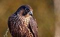Falco peregrinus 143426659.jpg