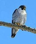Falco peregrinus m Humber Bay Park Toronto.jpg