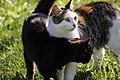 Famiglia di gatti brembani - panoramio.jpg