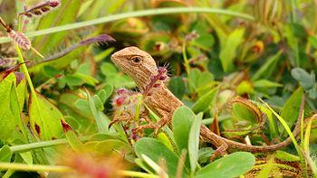Fan-throated Lizard2.jpg