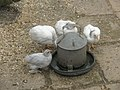 Feeding chicks at Blists Hill Open Air Museum - geograph.org.uk - 1461888.jpg