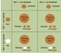 Fellfarbe Erbschema ein Elterntier homozygot dominant, ein Elterntier heterozygot.png