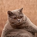 Female British Shorthair 2 years and 3 months old.jpg