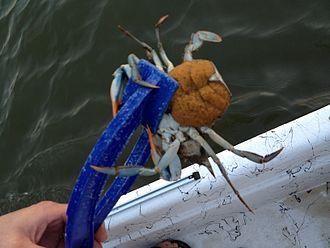 Callinectes sapidus - Female blue crab with eggs