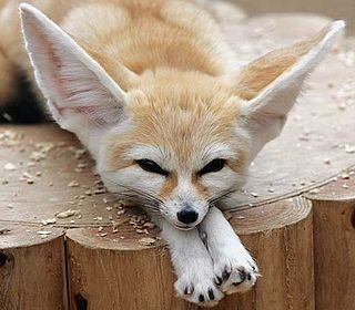 Fennec fox Small crepuscular mammal