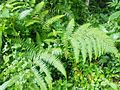 Fern, modhupur reserve forest.jpg