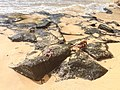 Fernando De Noronha Insel Crab (125363005).jpeg