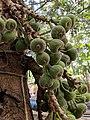 Ficus auriculata 107.jpg