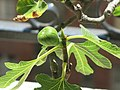 Ficus carica bonsai A D200625 fig.jpg