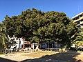 Ficus macrophylla 1.jpg