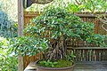 Ficus microcarpa - Marie Selby Botanical Gardens - Sarasota, Florida - DSC01087.jpg