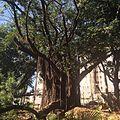 Ficus no Bairro Castelo - Belo Horizonte, MG - panoramio (2).jpg