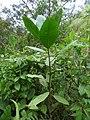 Ficus tonduzii.jpg