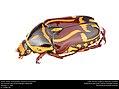 Fiddler Beetle (Scarabaeidae, Eupoecila australasiae) (27038381872).jpg
