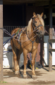 Finnhorse stallion (Number 13 3).png