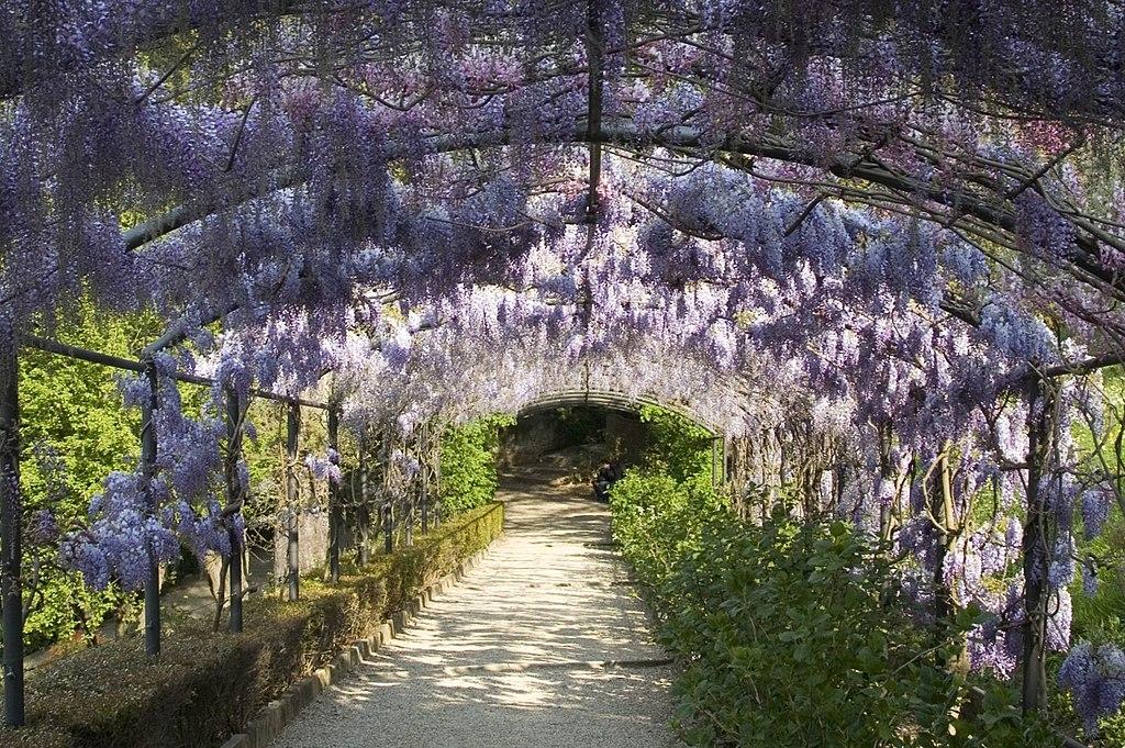 Firenze, Giardino Bardini, vista sulla lussureggiante wisteria pergola