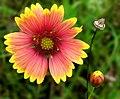 Firewheel or Indian Blanket -- Gaillardia pulchella.jpg