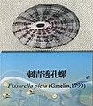 Fissurella picta IMG 5460 Beijing Museum of Natural History - Natural History Museum of Guangxi.jpg