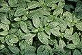 Fittonia albivenis 2014-06-19 01.jpg