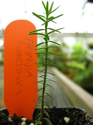 Fitzroya - Fitzroya cupressoides first-year seedling