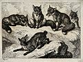 Five foxes on a rock. Etching by W. S. Howitt. Wellcome V0020721ETR.jpg