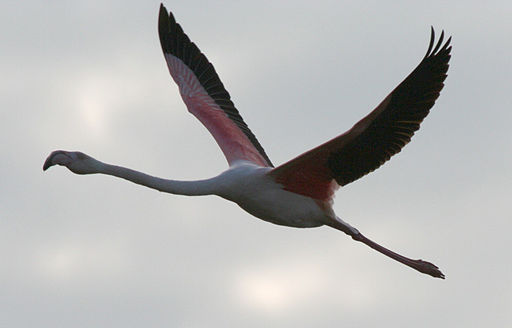 Flamingoinflight