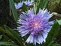 Fletcher moss flower2.jpg