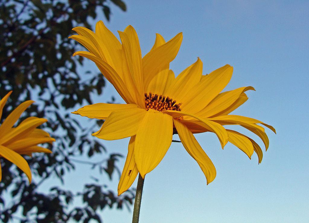 zonnewortel