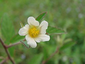 Sida (plant) - Sida rhombifolia