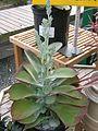 Flickr - brewbooks - Kalanchoe thrysiflora (3).jpg