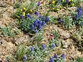 Flickr - brewbooks - Pediocactus simpsonii and lupine.jpg