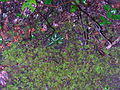 Flickr - brewbooks - Rattlesnake plantain Goodyera oblongifolia.jpg