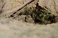 Flickr - ggallice - Gopher tortoise.jpg