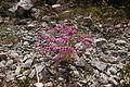 Flora della Sardegna 241 (1).jpg