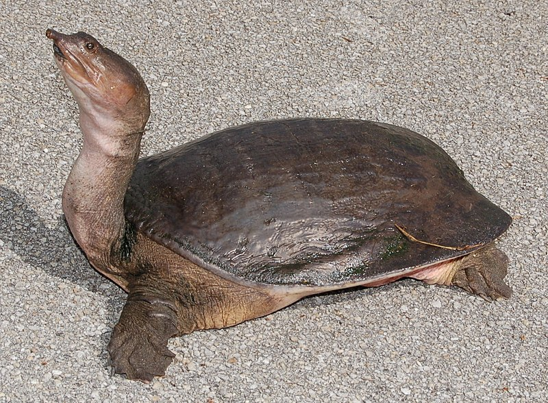 Florida Softshell Turtle