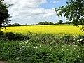 Flowering oilseed rape - geograph.org.uk - 1293294.jpg
