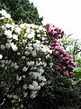 Flowering rhododendrons - geograph.org.uk - 806152.jpg