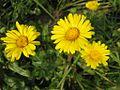 Flowers of Bangladesh11.jpg