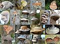 Fomes fomentarius (GB= Tinder fungus or Ice man fungus, D= Zunderschwamm, NL= Echte tonderzwam) in a wide variety of colours and shapes, magnificent nature these mushrooms - panoramio.jpg