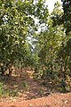 Forest - Budhibili - Dandadhar Road - Dhenkanal 2018-01-25 9616.JPG