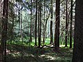 Forest Scene along Lake Ring Trail - Byelovezhskaya Puscha State National Park - Near Kamenyets - Brest Oblast - Belarus - 02 (26849855554).jpg