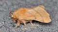 Forest Tent Caterpillar Moth (Malacosoma disstria) - Guelph, Ontario 2016-07-04.jpg